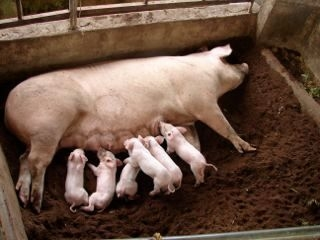 Hog Feed Production 4