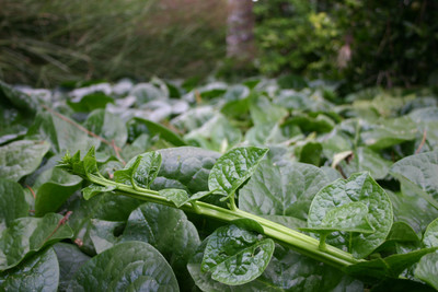 TN91 Malabar Spinach
