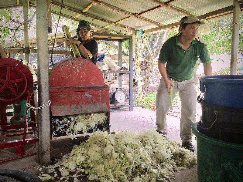 Raising Hogs on Banana Silage in Myanmar