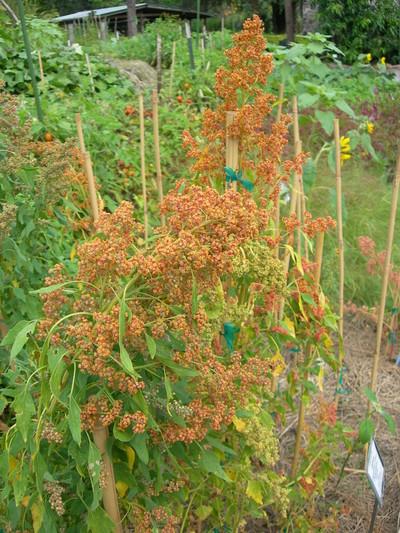 Underutilized crops for small farm abundance echocommunity tn91 quinoa mightylinksfo