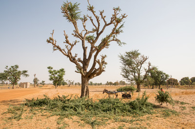 Farmer gathering branches from a Faidherbia aldbida tree to use as fencing