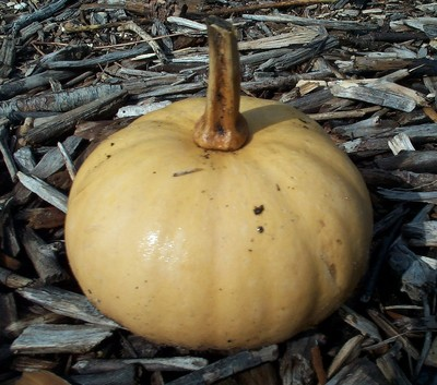 TN 59 Tropical Pumpkin