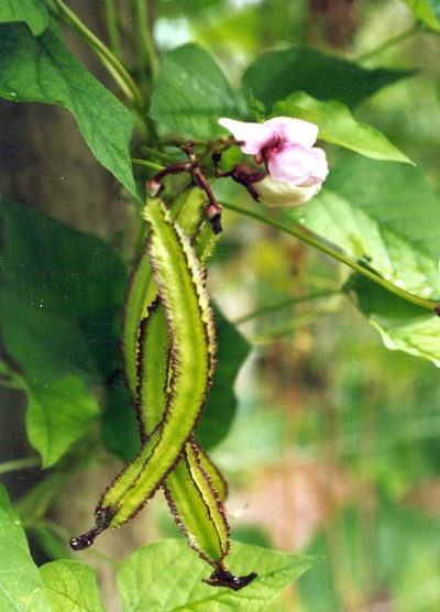 TN 59 Winged Bean 1