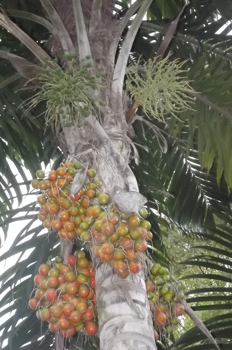 EDN 133 Peach Palm
