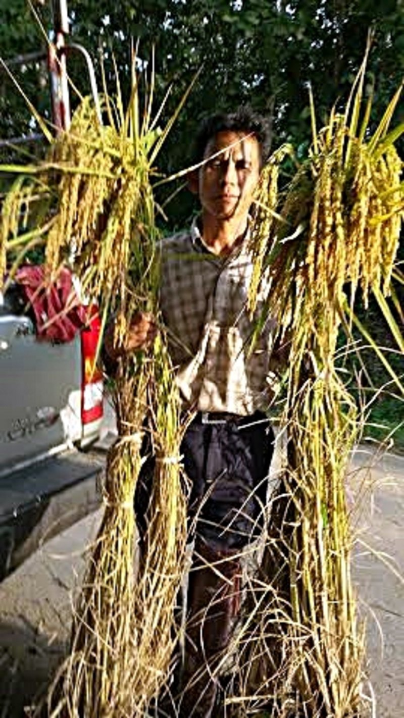 2014 SRI yield At Mae Chan District, Chiang Rai Province