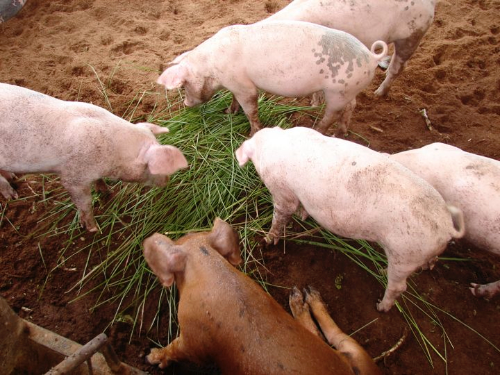 Farm-Generated Feed: Hog Feed Production | ECHOcommunity org