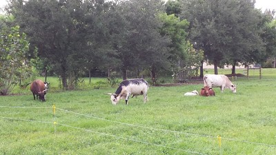 Rotational Grazing: Cows at the ECHO Global Farm