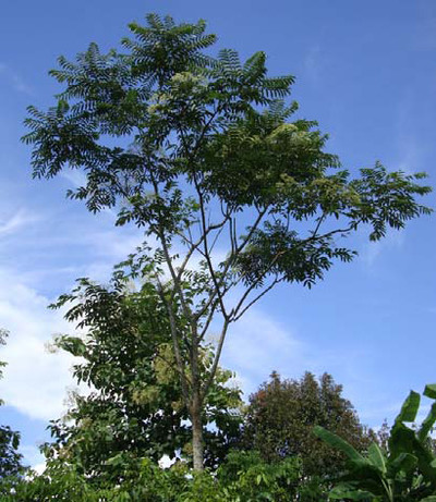 AN 8 Zanthoxylum A low Profile Asian Crop with Great Potential 1