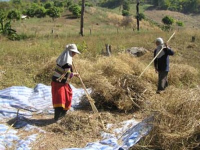 AN 10 The Use of Green Manure Cover Crops for Relay Cropping in Northern Thailand 3