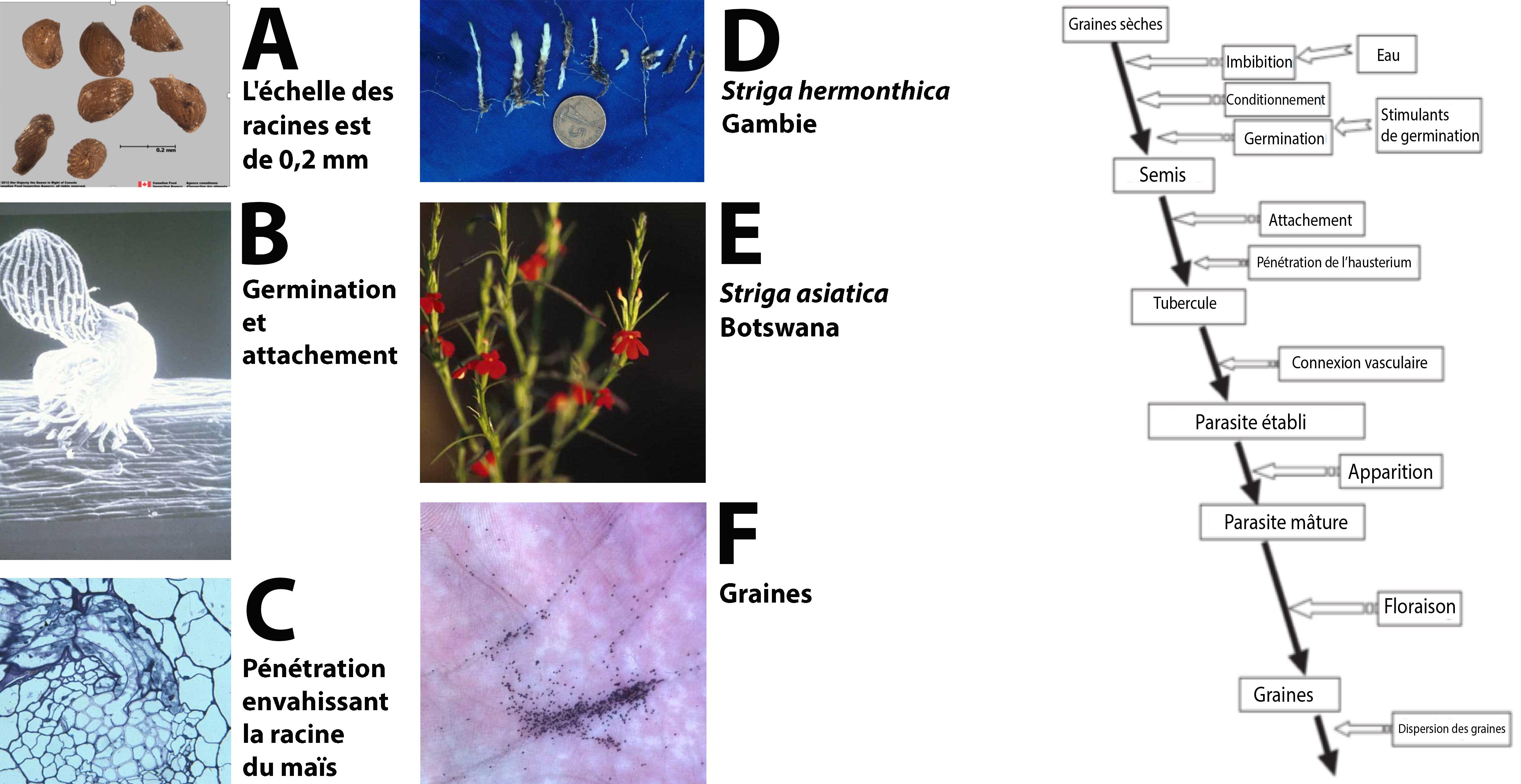 exemple de hemiparazite papilloma bladder icd 10