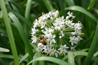 TN 59 Garlic Chives