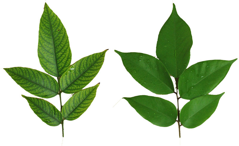 TN 79 Tree Leaves Comparison- Healthy and Unhealthy