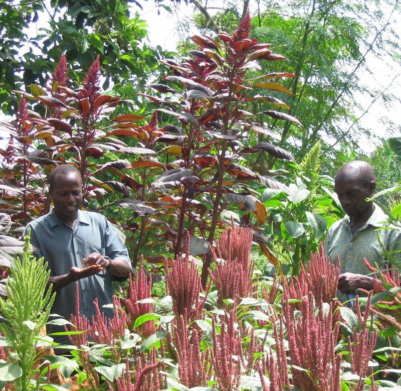 TN #16 Amaranth - New Crop Varieties