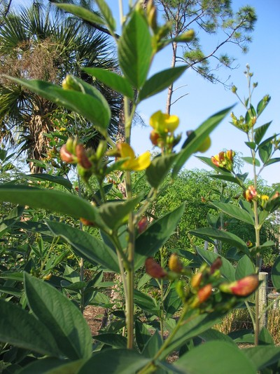 TN 21 Pigeon pea tree tops with flowers