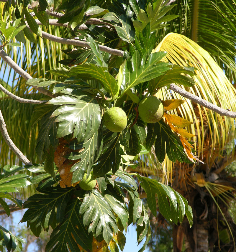 TN34 Breadfruit