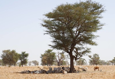 Faidherbia aldbida sheltering cattle in the dry season