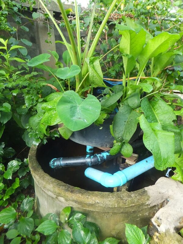 Lessons from Cement Ring Aquaponics 5