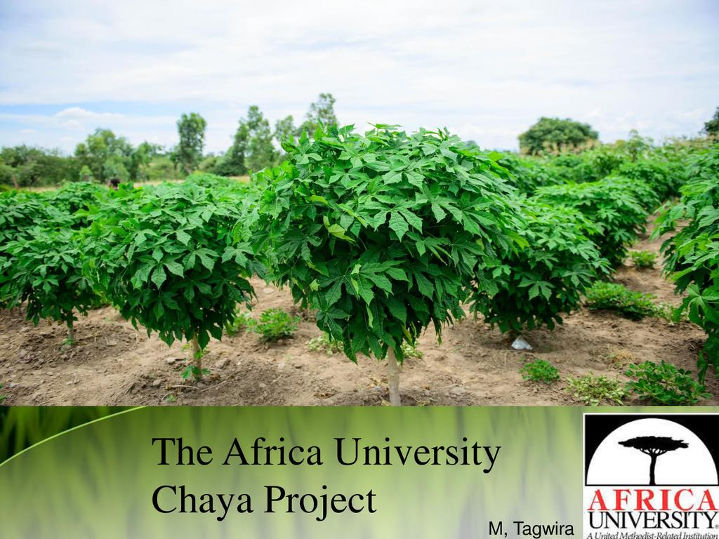 The Chaya Project in Zimbabwe