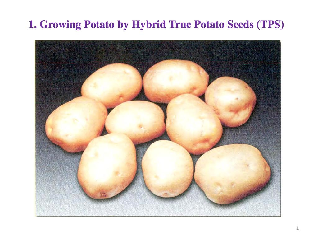 Growing Potato by Hybrid True Potato Seeds