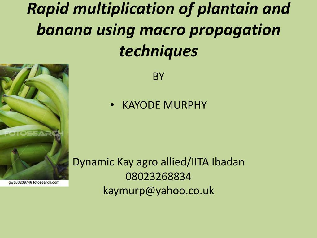 Rapid multiplication of plantain and banana using macro propagation techniques