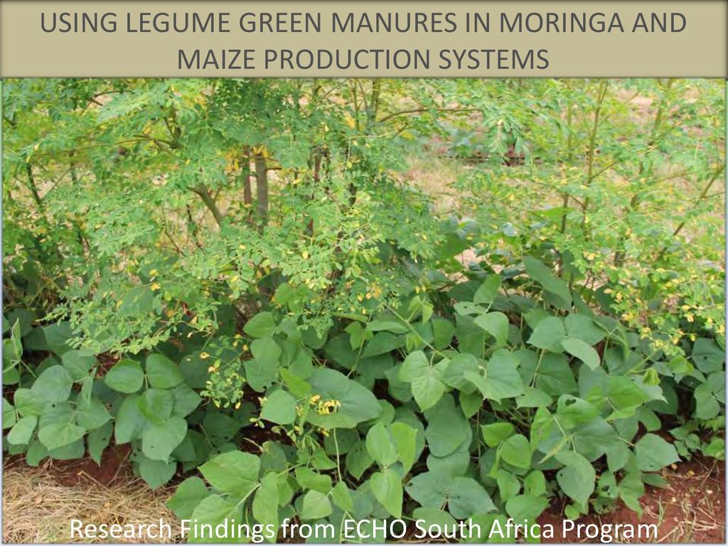 Legume Intercropping with Moringa and Maize