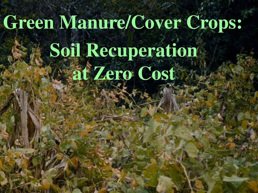 Green manure cover crops soil recuperation at zero cost  0
